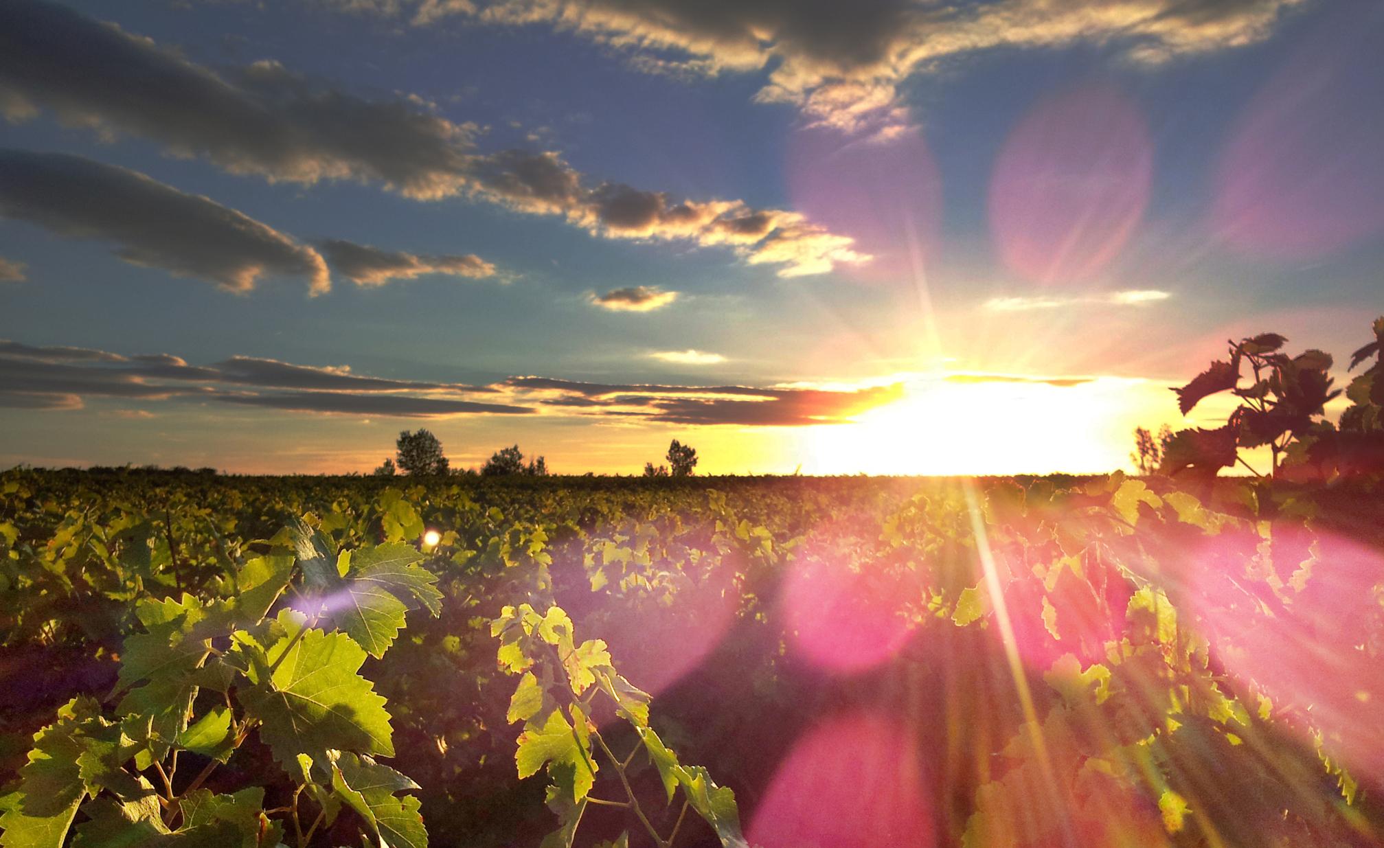 Vin & Vignobles 1