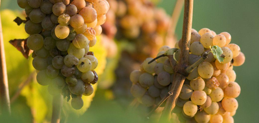 Vins & Vignobles